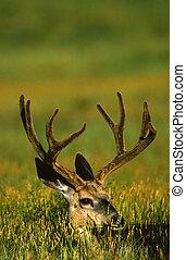 Velvet Mule Deer Buck - a nice mule deer buck in velvet ...