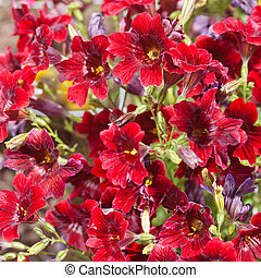 Velvet Trumpet Flower