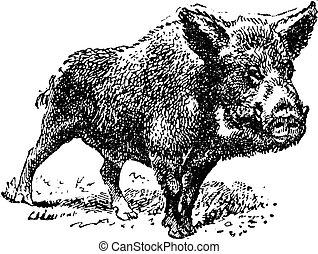 vendange, cochon, verrat, sauvage, ou, engraving.