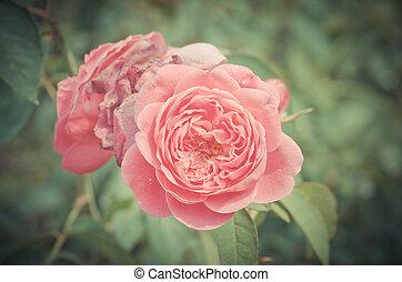 vendange, fleur, rose, damassé