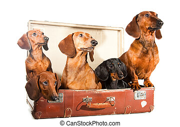 vendange, isolé, teckel, cinq, valise, blanc, chiens