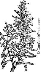 vendange, officinalis rosmarinus, romarin, ou, engraving.