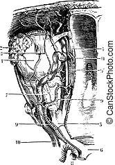 vendange, orbite, engraving., vaisseaux, nerfs