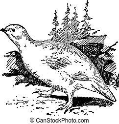 vendange, ptarmigan, oiseau, engraving.