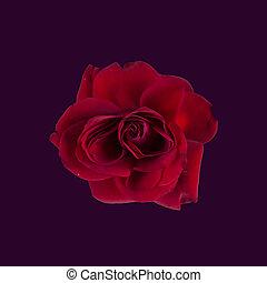 vendange, rose rouge