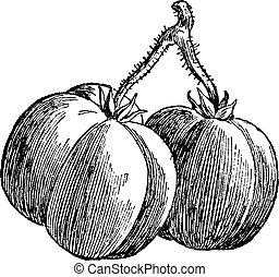 vendange, tomates, engraving.