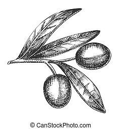 vendemmia, articolo, vettore, ramo, oliva, agricolo