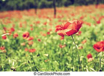 vendimia, amapolas, rojo verde, campo