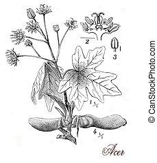 vendimia, botánico, grabado, árbol, arce