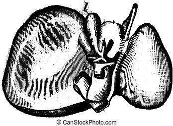 vendimia, hígado, grabado, humano, ilustración