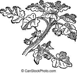 vendimia, (helianthus, annuus), girasol, engraving.