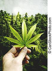 vendimia, hoja, marijuana, llevar a cabo la mano