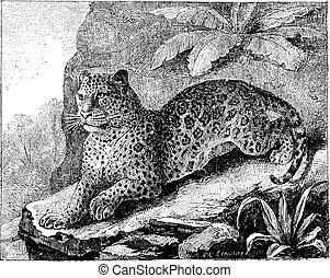 vendimia, jaguar, engraving.