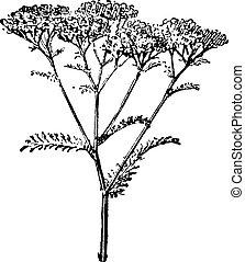 vendimia, millefolium de achillea, milenrama, o, engraving.