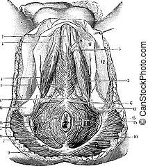 vendimia, perineo, seres humanos, engraving.