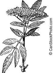 vendimia, sambucus, o, elderberry, engraving.