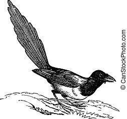 vendimia, urraca, (pica, black-billed, hudsonia), engraving.