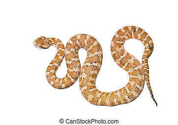 A close up of the venomous snake (Agkistrodon saxatilis). Isolated on white.