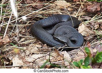 Venomous snake black forest viper. - Venomous snake black...
