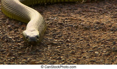 Venomous taipan snake slithering warily - Front view of a ...