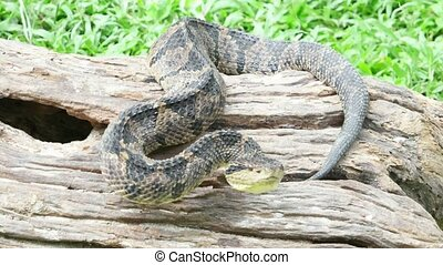Venomous viper on an attacking position