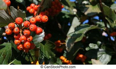vent, automne, mûre, close-up., vert, pendre, montagne, arbre., cendre, season., mouvementde va-et-vient, feuilles, branche, rouges