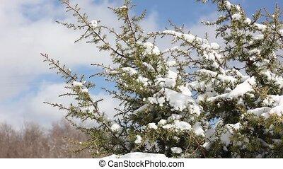 vent, buisson, neige, genièvre