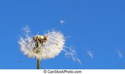 vent, loin, pelucheux, blossom., blanc, mouche, -, graines, pissenlit, 4k