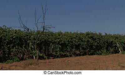 vent, rangées, raisin, vignes