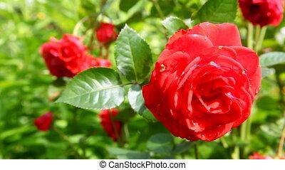 vent, rose, en mouvement, jardin, rouges
