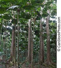 ventilador, gigantesco, palma, bosque, árboles