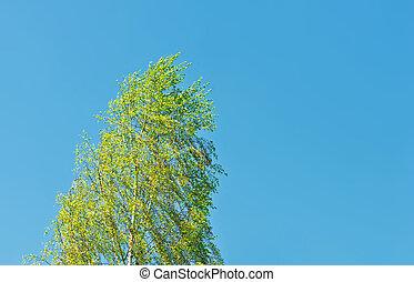 ventoso, árvore, vidoeiro