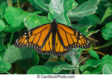 Ventral View of a Monarch Butterfly - A macro of a monarch...
