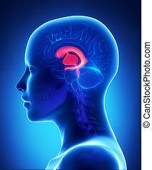 ventricles, lateral, -, anatomia, cérebro, femininas, vista dianteira