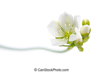 Venus Flytrap Flower with Buds on White Background - A...