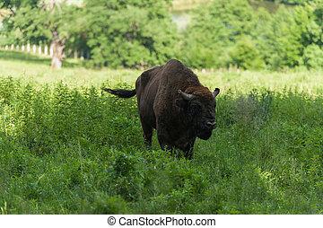 verão, bisonte