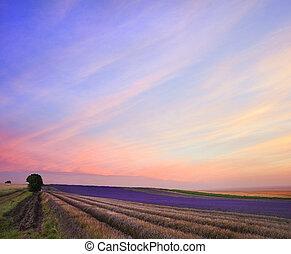verão, cor campo alfazema, impressionante, pôr do sol, paisagem