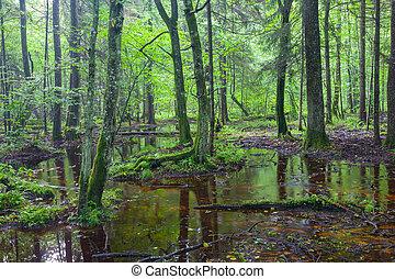 verão, decíduo, levantar, molhados, bialowieza, amanhecer, floresta