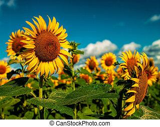 verão, dourado, sol, campo, girassóis, sob