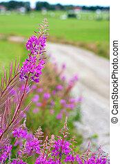verão, fireweed, paisagem, escandinavo