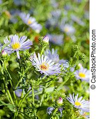 verão, flores, chamomile, luz solar, experiência verde, margarida, scene:, capim, ou