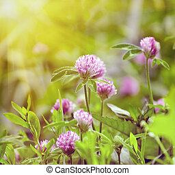 verão, flores, scene:, trevo, luz solar, grama verde