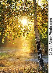 verão, floresta, árvores, vidoeiro