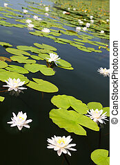 verão, lago, com, água-lírio, flores