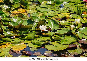 verão, lago, com, água-lírio, flores, e, verde sai, ligado, água azul