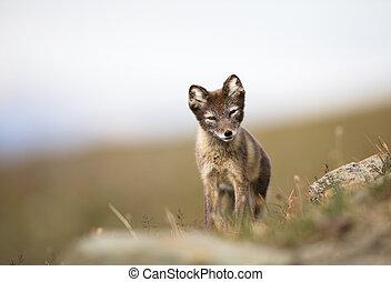 verão, lagopus, natural, raposa, habitat, ártico, svalbard, filhote, vulpes, noruega