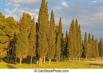 verão, noite, prado, cipreste, árvores, pôr do sol, floresta, paisagem
