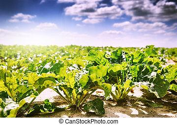 verão, paisagem., açúcar, campo, beterraba, agrícola