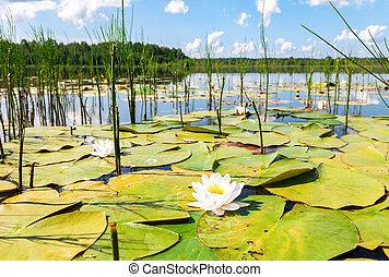 verão, paisagem, com, lírio água, flores, em, dia ensolarado