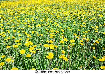 verão, prado verde, amarela, tempo